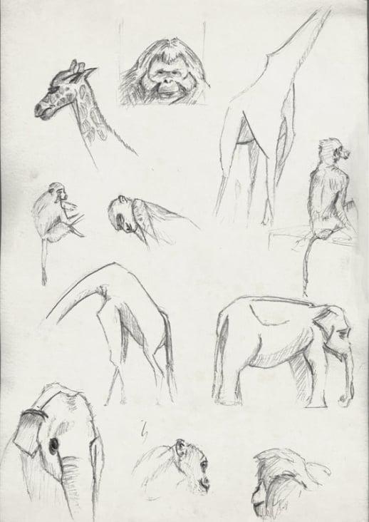 Studie | Tiere | Berliner Zoo |Bleistift