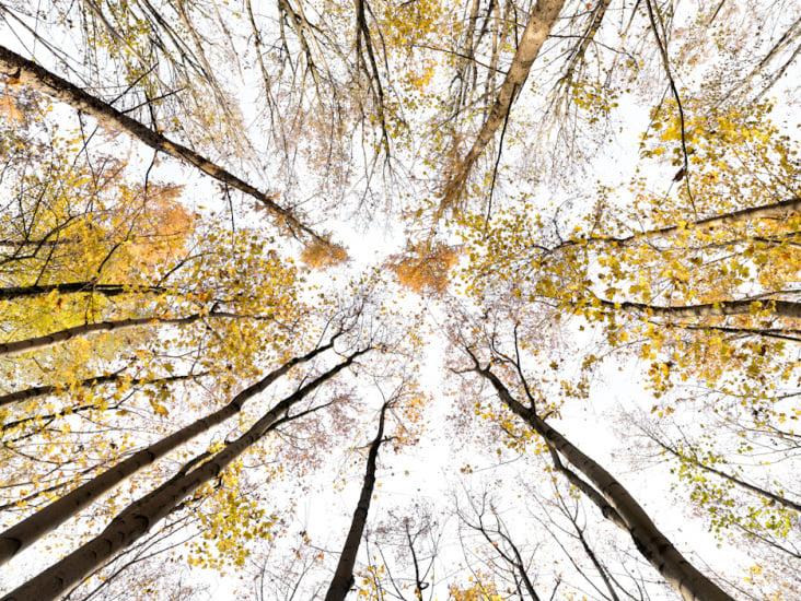 Giant Trees XI *