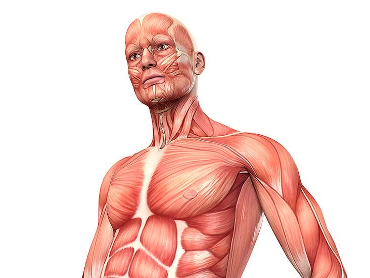 Die Muskulatur des Menschen – anatomische Illustrationen