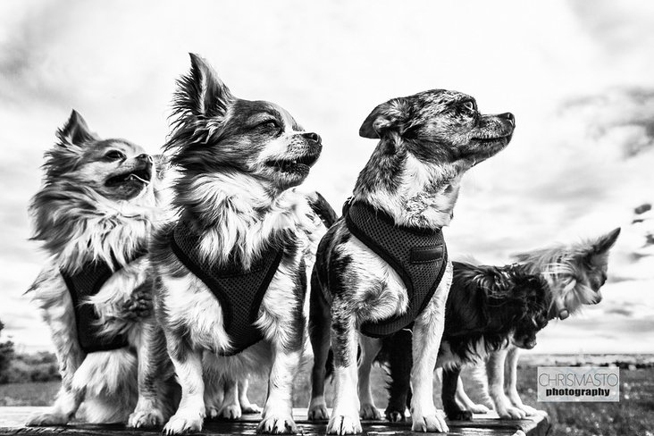 Fine Art Animals – Portrait, Dogs
