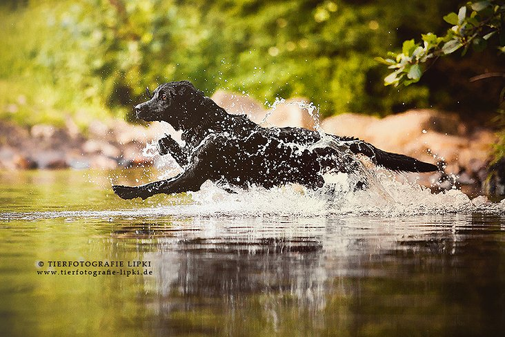 Flash – The flying Labrador