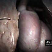 """3d animated heart & lung"" von Anima Res"