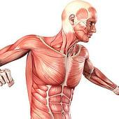 """""""Muskeln des Menschen– Muskulatur-Anatomie"""" von Med Visual"""